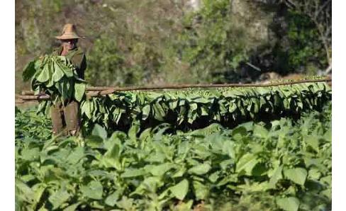 Ako sa zbiera tabak
