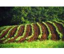 Ako sa pestuje tabak